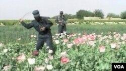 Mak u Engleskoj i Afganistanu: Poželjno dobro i nepoželjno zlo