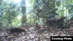 Bush dogs are seen in this camera trap photo taken in the wet tropical forests. (Ricardo Moreno)