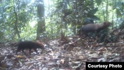Bush dogs are seen in this camera trap photo taken in the wet tropical forests of Pirre, Darién Province, Panama, March 20, 2015. (Ricardo Moreno)