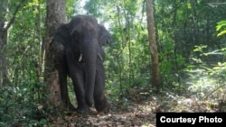 Elephants play an important role in seed dispersal for a large-fruited tree in the forests of Thailand. (K. Saralamba)