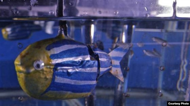 Looks do matter to zebrafish, which were attracted to this robot fish because of its bright color and round female-like shape. (M.Porfiri/Polytechnic Institute of New York University)
