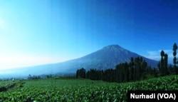 Hamparan ladang tembakau dengan latar belakang Gunung Sumbing, Temanggung, Jawa Tengah. (Foto:VOA/ Nurhadi).jpeg