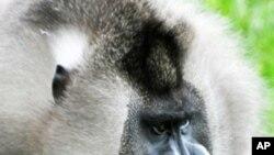 這種名為鬼狒的靈長類非洲猴(資料圖片)