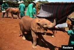 Seorang petugas memberi makan seorang bayi gajah di David Sheldrick Elephant Orphanage, Taman Nasional Nairobi, Kenya, 12 Oktober 2014.