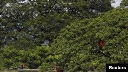 စစ္ကိုင္းတုိင္၊ ေကာလင္းၿမိဳ႕နယ္အတြင္း ေရနစ္ျမဳပ္သြားတဲ့အိမ္က အိမ္ေထာင္ဦးစီးတေယာက္ သူ႔မိသားစု ယာယီေနထုိင္ဖို႔ သစ္ပင္တပင္ကို ယာယီေနစရာ ဖန္တီးေပးထားပံု။ (ၾသဂုတ္လ ၂၊ ၂၀၁၅)