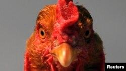 荷兰扑杀携带禽流感的鸡