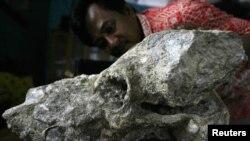 Kepala desa Karyanto membersihkan fosil kepala gajah (Stegadon Trigono Chevalus) di Bojonegoro (Foto:dok). Para ilmuwan Spanyol baru-baru ini menemukan bukti baru yang menunjukkan perilaku manusia purba Madrid dan kegemaran mereka makan daging gajah.