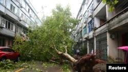 10일 저장성 일대를 강타한 태풍 '레끼마'로 나무가 뿌리째 뽑혀있다.