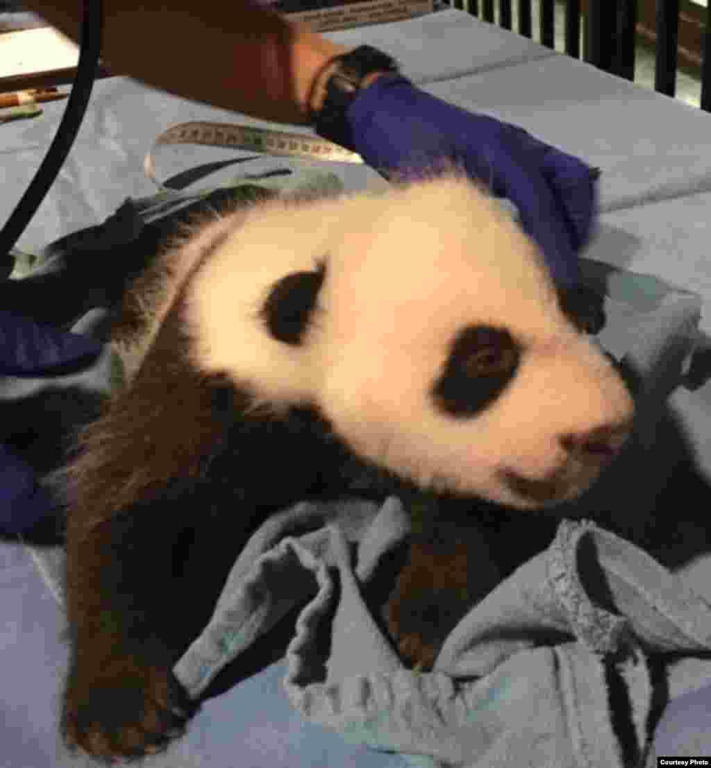 Bei Bei y su hermano gemelo que no logró sobrevivir, nacieron el 22 de agosto de 2015. Su madre es Mei Xiang, una de las pandas gigantes del Zoológico Nacional.