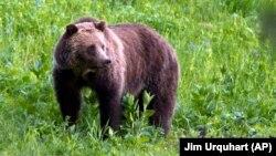 Ilustrativna fotografija medveda (Foto: AP/Jim Urquhart)