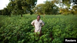 Inonder des champs de coton peut renforcer la salinité des sols