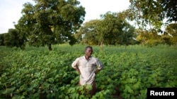Cotton farmer Karim Traore, 29, surveys his cotton field outside Koutiala August 30, 2012.