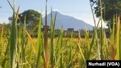 Kabupaten Sleman, DI Yogyakarta di kaki Merapi adalah lumbung pangan kawasan tersebut. (Foto:VOA/ Nurhadi)