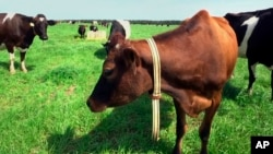 "In this March 28, 2018, image made from a video, a cow stands in a pasture on Seven Oaks Dairy in Waynesboro, Ga. On the cow's neck is a device called ""The Intelligent Dairy Farmer's Assistant,"" created by Connecterra. (AP Photo/Marina Hutchinson)"