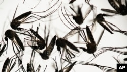 FILE - Aedes aegypti mosquitoes sit in a petri dish at the Fiocruz institute in Recife, Pernambuco state, Brazil, Jan. 27, 2016