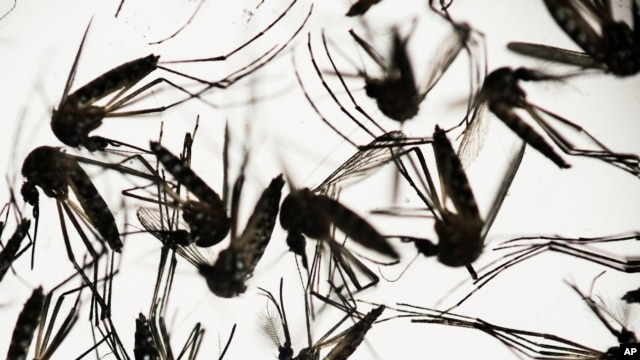 Aedes aegypti mosquitoes sit in a petri dish at the Fiocruz institute in Recife, Pernambuco state, Brazil,Jan. 27, 2016