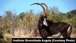 Palanca negra gigante no Parque Nacional da Cangandala em Angola.