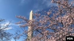 华盛顿的樱花要盛开啦