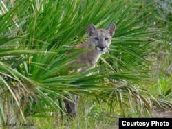 Once common throughout the southeastern United States, fewer than 100 Florida panthers (Puma concolor coryi) are estimated to live in the wilds of south Florida today.