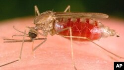 Malaria is transmitted among humans by female Anopheles mosquitoes like this one.