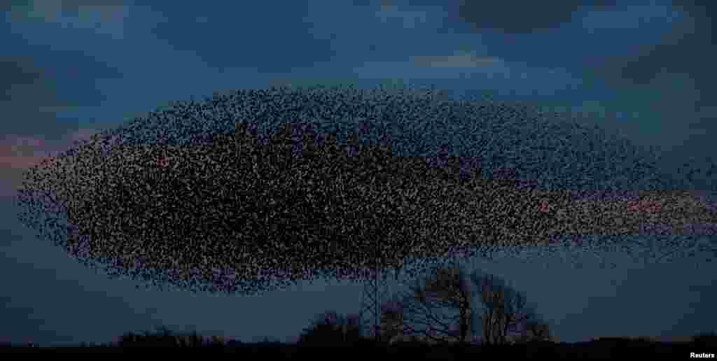 Ribuan burung-burung jalak terbang berkelompok di dekat kota Gretna Green, Skotlandia.
