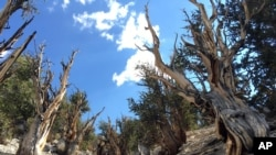 FILE - Gnarled, bristlecone pine trees grow in the White Mountains east of Bishop, Calif., July 11, 2017. Limber pine is beginning to colonize areas of the Great Basin once dominated by bristlecones.