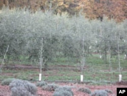 "A row of young olive saplings, called ""whips,"" have been planted in a field with more established trees."