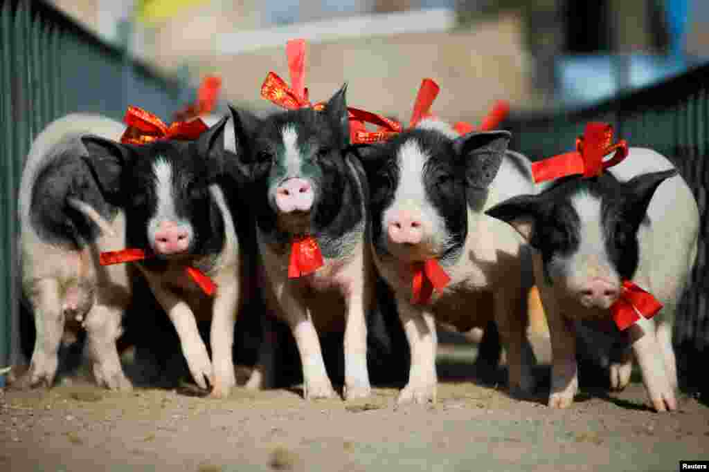 Three-month-old pigs run through an obstacle course at the Green Island Holiday Farm to mark the upcoming Lunar New Year of the Pig in Zhangjiakou, Hebei Province, China.