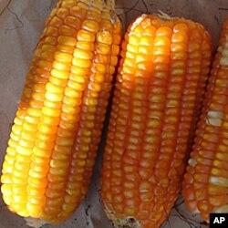 经济学家黑贝布兰德说,玉米成为美国最流行农作物
