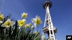 Daffodils bloom in view of the Space Needle in Seattle, Washington state, as sunshine and high temperatures arrive early, March 4, 2015.