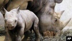L'informatique est mise au service des rhinocéros, toujours braconnés pour leurs cornes