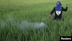 En 2010, El Niño se hizo notar en Filipinas. En la foto, un agricultor rocía sus cultivos de arroz, afectados por la sequía.