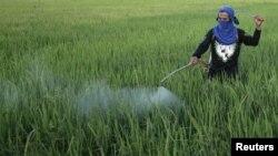 Petani menyemprot air dan pestisida di sawah. (Foto: Dok)
