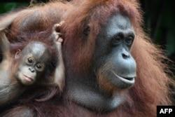 """Bayi bornean orangutan (Pongo pygmaeus), Khansa (kiri) dan induknya, Anita di kebun binatang """"Zoological Garden"""" Singapura. (Foto: dok)."""