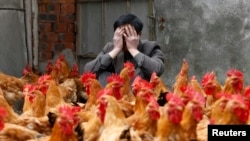 A chicken breeder in China sits with his chickens. covers his face as he sits behind his chickens, 2013.