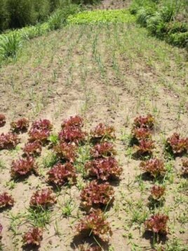 The Worldwatch Institute visited successful farms, such as this lettuce farm in South Africa, to learn about the agricultural methods they're using to produce food while simultaneously protecting the ecology