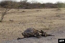 Somalida misli ko'rilmagan qahatchilik, kasalliklar tarqalmoqda