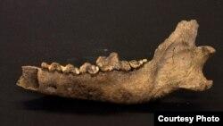 Kost vuka koji je prema procenama živeo pre 27 do 40 hiljada godina (Foto: Love Dalén)
