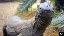 FILE - This 7-year-old Komodo dragon, pictured at the Cincinnati Zoo in Ohio, is 7 feet long and weighs 100 pounds. Males in the wild average 8 to 9 feet and about 200 pounds, according to the Smithsonian National Zoological Park, but they can grow much l