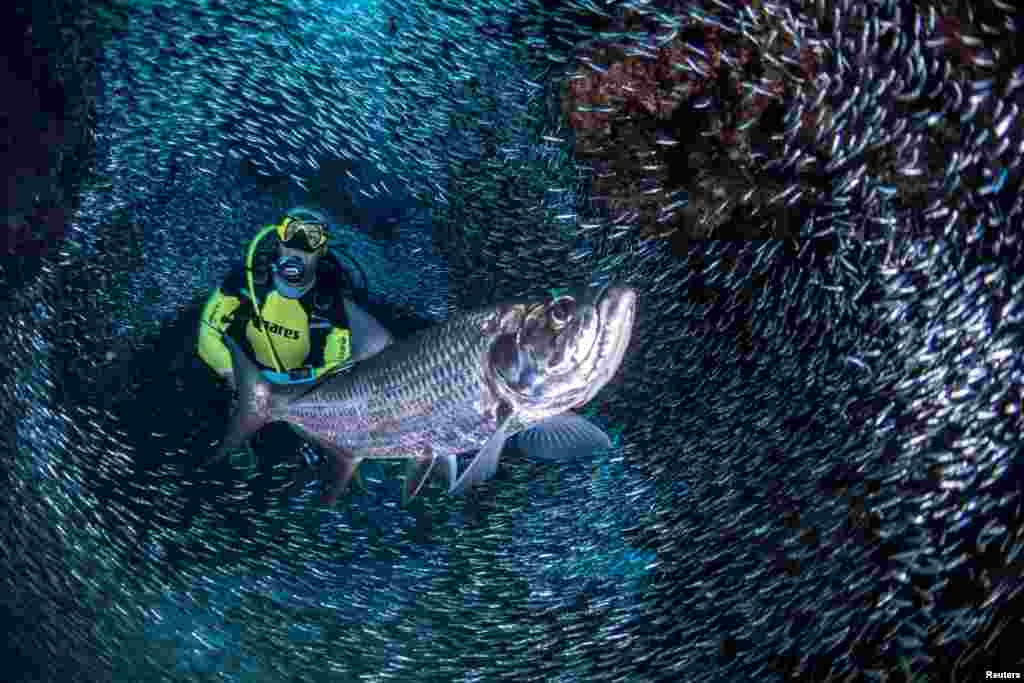 A scuba diver is surrounded by schools of silverside fish in the Devil's Grotto area near George Town, Cayman Islands.