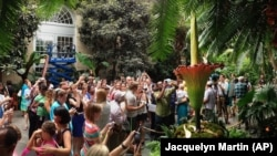 """Visitors crowd around a """"corpse flower"""" hoping to smell. It smells like rotting flesh. This photo was taken on July 22, 2013, at the U.S. Botanic Garden in Washington. (AP Photo/Jacquelyn Martin)"""