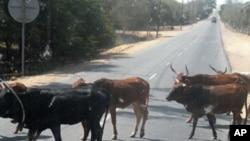 Cabo bovino na provincia do Namibe,