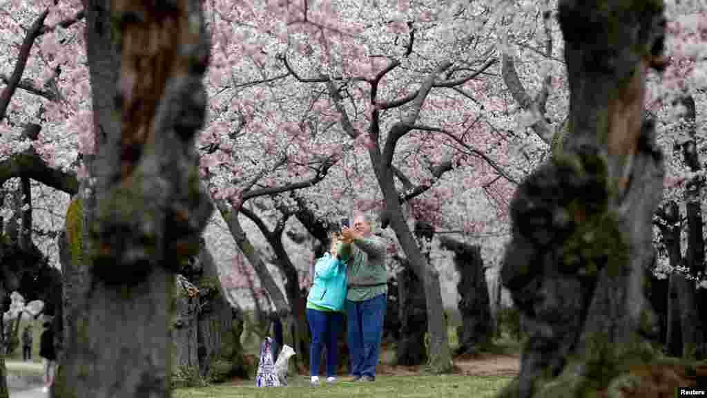 遊人在櫻花樹下自拍(2018年4月5日)。