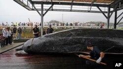 Japonya'da son yıllarda balina tüketenlerin sayısı ciddi oranda azalmış olmasına rağmen hükümet avlanma yasağını kaldıracağını duyurdu
