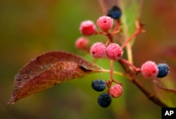 FILE - Morning dew covers berries in Bartlett, N.H., Sept. 18, 2017. Despite forecasts for brilliant foliage throughout the Northeast this year, longtime leaf watchers said the leaves this fall were dull and weeks behind schedule in their turn from green to the brilliant hues of autumn.