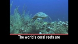 Local and Global Pressures Threaten Coral Reefs