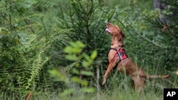 Dia, a Labrador retriever, gets some elevation to try and smell Scotch broom, an invasive species, in Harriman State Park in Tuxedo, N.Y., Tuesday, Aug. 6, 2019. (AP Photo/Seth Wenig)
