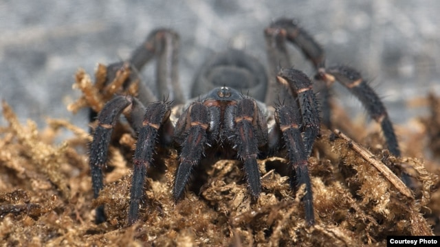 Trapdoor spiders spend most of their time in underground burrows, emerging mainly to grab prey. Their rear half is segmented, a trait visible in some of the earliest spider fossils. (© AMNH\R. Mickens)