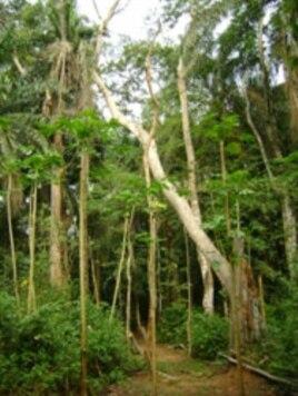 Guinean Rainforest