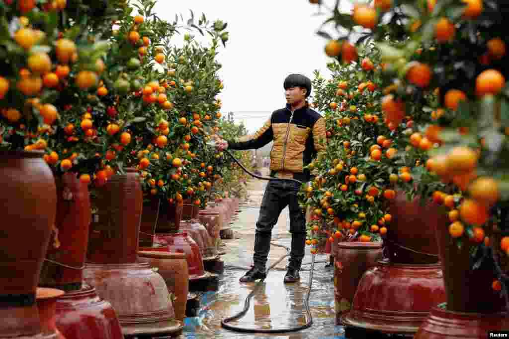مزرعه ای از درختان کامکوات در ویتنام. این نوع درختان که میوه ای شبیه پرتقال دارد و به عنوان درخت تزئینی در سال نو ویتنامی استفاده می شود.